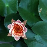 Süßwasserlilie Lizenzfreie Stockfotos