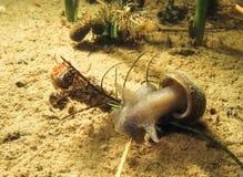 Süßwasserschnecke oder -schnecke unter Wasser Lizenzfreies Stockfoto