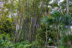 Süd-Florida-Bambus Stockfotos