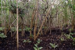 Süd-Florida-Mangrovensumpfgebiete Lizenzfreies Stockbild