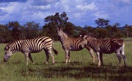 Südafrika: Drei Zebras in der Wildnis von Shamwari-Spiel bezüglich stockbilder