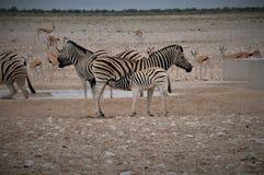 Südafrika-Hafen Elizabeth Baby Zebra, der durch seine Mutter trinkt stockbild