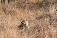 Südafrika-wild lebende Tiere an kruger Hyäne stockbilder