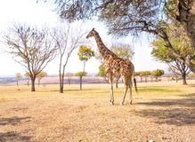 Südafrikanische Giraffe Lizenzfreie Stockbilder