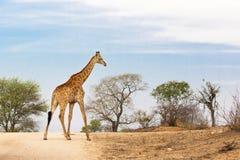 Südafrikanische Giraffe Lizenzfreie Stockfotografie