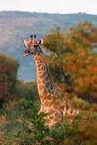 Südafrikanische Giraffe Stockbild