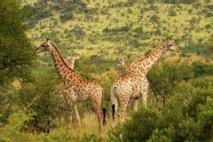 Südafrikanische Giraffe Lizenzfreies Stockfoto