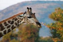 Südafrikanische Giraffe Stockfotos