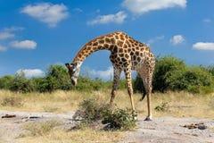 Südafrikanische Giraffe Chobe, Botswana-Safari Stockbild
