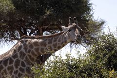 Südafrikanische Giraffe des Porträts, Giraffa Giraffa Giraffa, Nationalpark Chobe, Botswana Lizenzfreie Stockfotografie