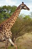 Südafrikanische Giraffe, Nationalpark Kruger, südafrikanisches Repub Lizenzfreies Stockfoto