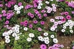 Südafrikanische Ringelblume Stockbilder