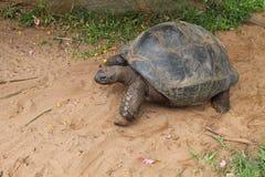 Südafrikanische Schildkröte in der Gefangenschaft Lizenzfreies Stockbild
