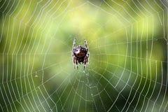 Südafrikanische Spinne auf Netz stockfotografie