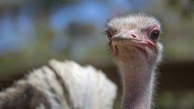 Südafrikanische Straußnahaufnahme stockfoto