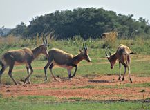 Südafrikanische Tiere am Spiel lizenzfreies stockfoto