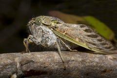 Südafrikanische Zikade stockbild