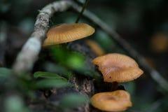 Südafrikanischer Forest Mushrooms lizenzfreies stockfoto