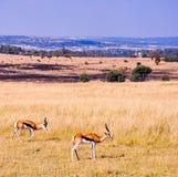 Südafrikanischer Frühling Bok Stockbilder