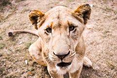 Südafrikanischer Löwe Stockfotos