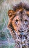 Südafrikanischer Löwe Lizenzfreie Stockfotografie