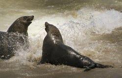 Südafrikanischer Seebär Stockfoto