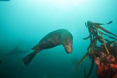 Südafrikanischer Seebär, Arctocephalus pusillus, Südafrika lizenzfreies stockfoto