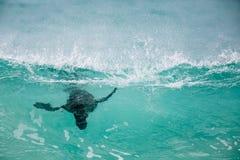 Südafrikanischer Seebär, der die Wellen surft Stockfotos