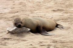 Südafrikanischer Seebär-Kolonien im jungen Kap Kundenberaterinnen des Vordergrunds, Namibia stockfotos