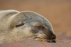 Südafrikanischer Seebär-Porträt lizenzfreie stockfotos