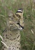Südafrikanischer Serval Stockfoto