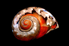 Südafrikanischer Turban Seashell Stockbilder