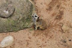 Südafrikanisches Meerkat Stockbild