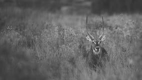 Südafrikanisches Waterbuck, das im langen Gras steht Stockbild