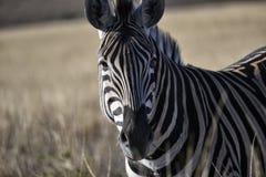 Südafrikanisches Zebra, das entlang der Kamera anstarrt stockbild