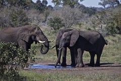 Südafrikas wild lebende Tiere Stockfotografie