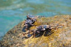 Südamerikanische tropische Seekrabben auf den Felsen Stockfoto