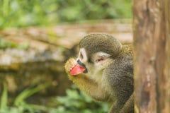 Südamerikanischer Affe Stockfotografie