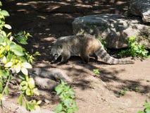 Südamerikanischer Coati geht der Boden an einem sonnigen Tag und sucht nach Lebensmittel Lizenzfreies Stockfoto