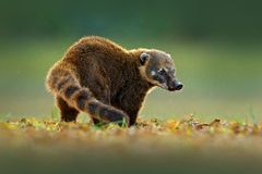 Südamerikanischer Coati, Nasua Nasua, schönes Sonnenlicht Coatinaturlebensraum, Pantanal, Brasilien-Tier vom tropischen Wald Wild lizenzfreies stockbild