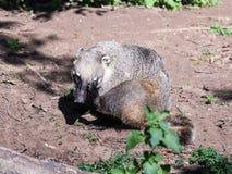 Südamerikanischer Coati sitzt aus den Grund und verkratzt seinen Kopf mit seiner Hintertatze an einem sonnigen Tag Stockfoto