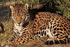 Südamerikanischer entspannender Jaguar Lizenzfreie Stockfotos