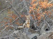 Südamerikanischer grauer Fuchs im Anden-Berg Lizenzfreie Stockfotos