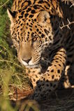 Südamerikanischer Jaguar Lizenzfreies Stockfoto