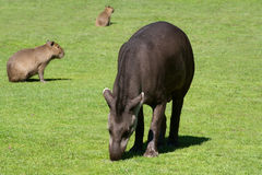 Südamerikanischer Tapir Lizenzfreies Stockfoto