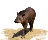 Südamerikanischer Tapir lokalisiert auf weißem Hintergrund lizenzfreies stockbild