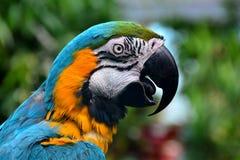 Südamerikanisches Keilschwanzsittich-Porträt. Lizenzfreie Stockfotografie