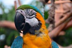 Südamerikanisches Keilschwanzsittich-Porträt. Stockfotos