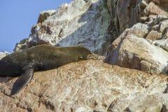 Südamerikanisches Seelöwe Stockfotos