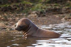 Südamerikanisches Seelöwe Lizenzfreie Stockbilder